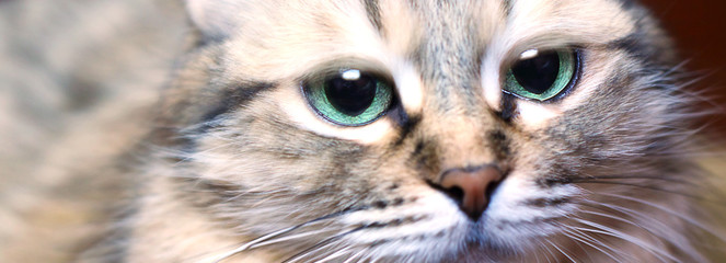 Cute cat or kitten with blue eyes. Pet. Lifestyle concept. Selective focus, close-up.