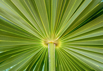 Palm Leaf Closeup