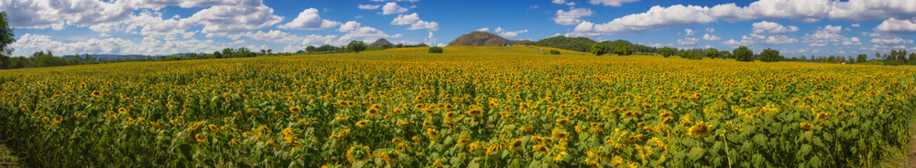 Panoramic view on sunflower field with blue sky