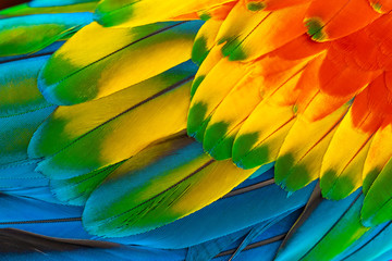 Colorful macaw parrot feathers with red yellow orange blue for nature background