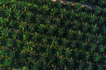 Palm oil tree plantation field aerial of agricultural industrial