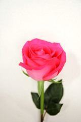 Single Bright Pink Tea Rose Isolated on White Background