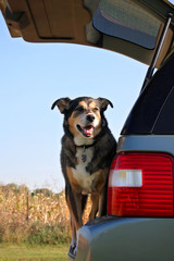 Happy Dog Waiting in Family Car to go on a Ride.