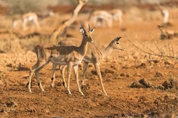 Impala juvenile antelope in the wild (Aepyceros datoadeni)
