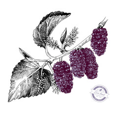 Hand drawn mulberry branch