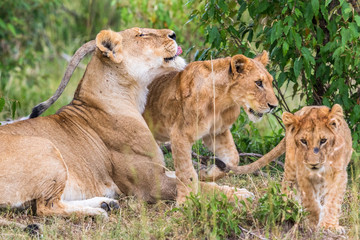 Lion Cubs with their mother
