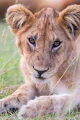 Close-up on a Lion Cub