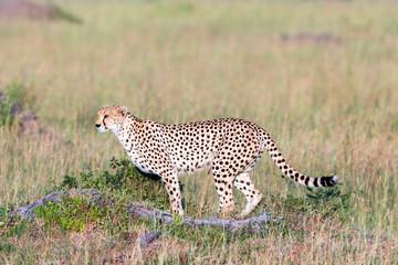 Watchful Cheetah in the savanna
