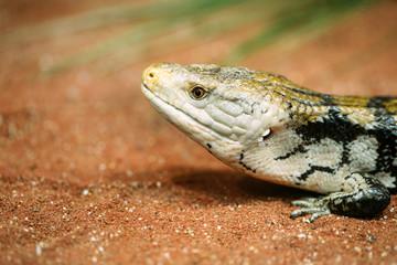 Popular pet gecko, gecko a night active lizard