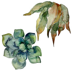 Jungle botanical succulent. Watercolor background illustration set. Isolated succulents illustration element.