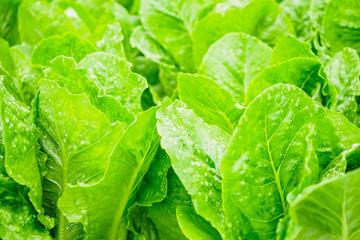 Fresh organic green leaves cos romaine lettuce salad plant in hydroponics vegetables farm system