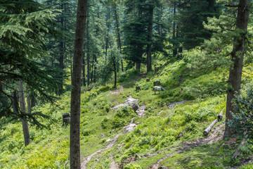 wild horses graze the Himalayan meadows, India