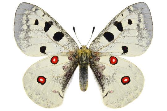 The Mountain Apollo, rare European butterfly (Parnassius apollo, male) isolated on white background