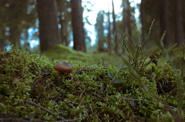 A little mushroom growng at the moss in Dark magic forest