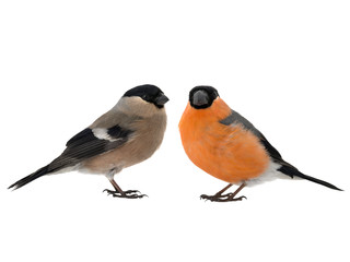 male and female bullfinch on a white