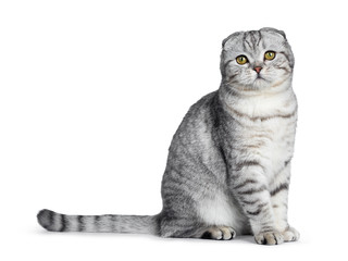 Cute young silver tabby Scottish Fold cat kitten sitting side ways straight up looking at camera with yellow eyes. Isolated on a white background. Tail beside body.