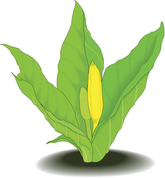 Skunk Cabbage Vector Illustration