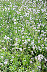 White fluffy dandelions flower in green field, natural background