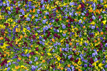 Poster Pansies Multicolor pansy flowers or pansies close up as background or card