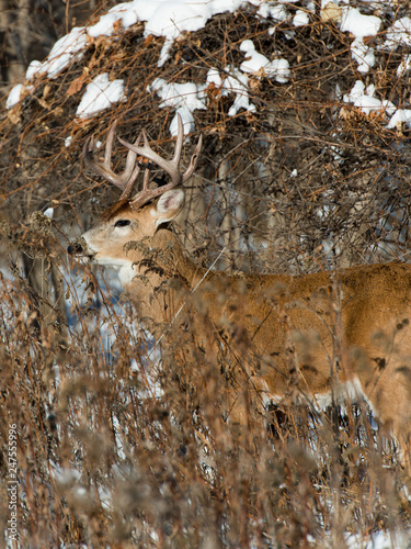 Wall mural A whitetail buck on a cold winter day