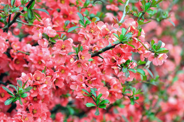 pink Chaenomeles bush blossom in springtime