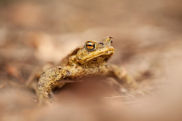 Bufo bufo. Wild nature. Beautiful picture. Nature of the Czech Republic. Frog. From Frog Life. Animal. Amphibian. Nature photos.