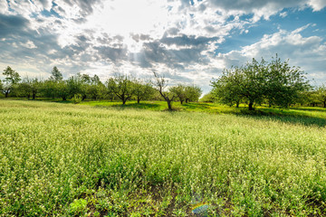 Fototapete - rural landscape, apple orchard in spring