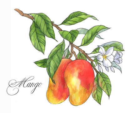Hand drawn watercolor ripe mango fruit on the branch. Illustration isolated on the white background