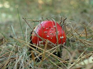 Obraz Muchomor czerwony - fototapety do salonu