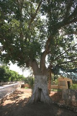 Zaccheus Sycamore Tree in Jericho, Israel