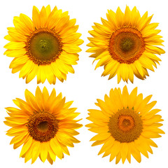 Fototapete - Sunflowers head collection isolated on white background. Flowers yellow, agriculture. Seeds and oil. Flat lay, top view