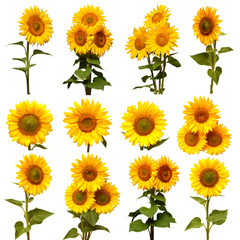 Sunflowers collection isolated on white background. Sun symbol. Flowers yellow, agriculture. Seeds and oil. Flat lay, top view. Bio. Eco