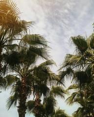 Palm tree alley on blue background sky in Alanya, Turkey