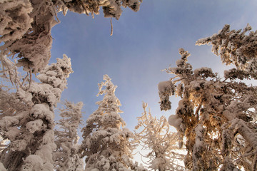 Foto op Canvas Aan het plafond Mighty snow forest on the mountain