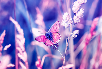 pink butterfly, copper-butterfly sits on a Sunny summer meadow in pastel colours and warm light