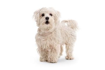 Cute maltese poodle dog