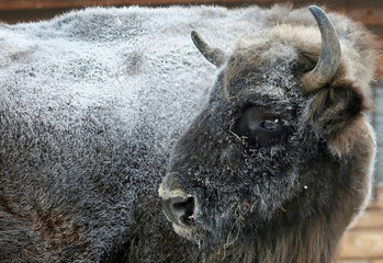 A frost-covered bison is seen at the Royev Ruchey Zoo during below freezing temperatures in Krasnoyarsk