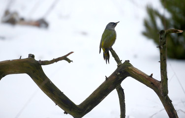 Grey-headed woodpecker sits on a tree branch in the village of Khatenchytsy