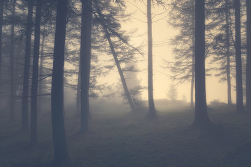 vintage gloomy forest with fog
