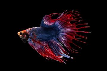 Betta fish, siamese fighting fish Half moon king of multi color beautiful closeup, betta splendens on black background