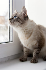 cute fluffy cat with blue eyes sititng on a window sill portrait