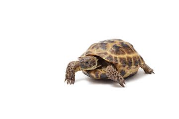 Central Asian land tortoise, turtle on white background