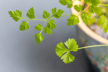 parsley plant grown in a pot