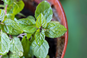 peppermint plant grown in a pot