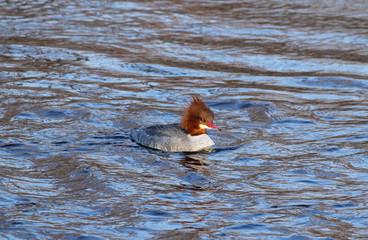 female common mergansers (goosander, Mergus merganser) swimming in the water