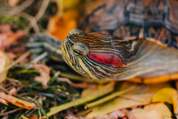 red-eared turtle on autumn leaves.