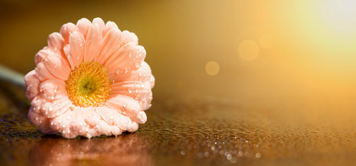 Spring forward, springtime concept - pink daisy flower, web banner, gold background