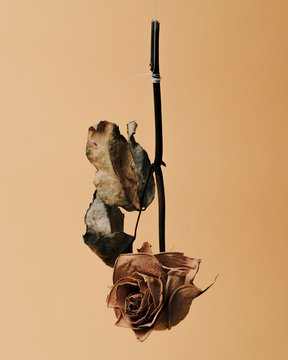 Dried rose hanging on string against yellow background