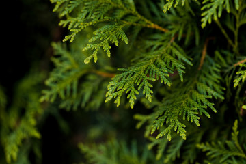 Closeup of Beautiful green christmas leaves of Thuja trees on green background. Thuja twig, Thuja occidentalis is an evergreen coniferous tree. Platycladus orientalis,  also known as Chinese thuja, Or Wall mural