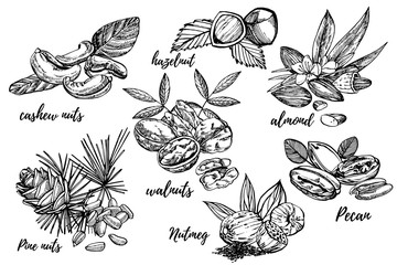 Almonds, Pecan, Cashew nuts, Hazelnut, Pine nuts, Walnuts and Nutmeg sketch illustrations. Vector Hand drawn illustrations isolated on white background.